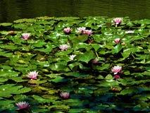Ковер лилий воды плавая в озеро Стоковая Фотография RF