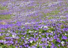 Ковер фиолетового и белого крокуса весны в горных вершинах Стоковое фото RF