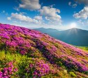 Ковер цветения розового рододендрона цветет в горах Стоковое фото RF