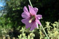 Ковер цветка mauve цвета Стоковое Изображение RF