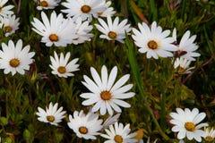 Ковры счастливых белых маргариток с sunshiny кнопками в центрах стоковое изображение rf