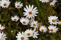 Ковры счастливых белых маргариток с sunshiny кнопками в центрах стоковое фото rf