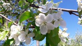 Когда цветеня яблони стоковое фото rf
