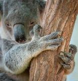 Коготь медведя коалы стоковые изображения