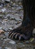 Коготь медведя Стоковая Фотография