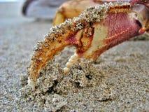 Коготь рака в песке стоковая фотография