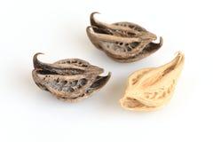 Коготь тигра, коготь дьявола (annua l Martynia ), семена стоковое изображение rf