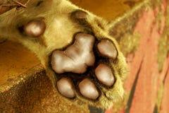 Коготь тигра Стоковое Фото