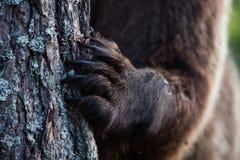 Когти бурого медведя в финском лесе Стоковая Фотография RF