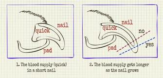 Когти холить животного иллюстрации вектора иллюстрация вектора