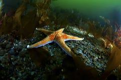 кожаная звезда моря Стоковая Фотография