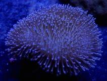 Кожаный коралл Стоковая Фотография