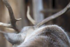 Кожа в реальном маштабе времени северного оленя Стоковые Фото