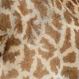 Кожа жирафа Стоковое Изображение RF