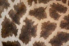 Кожа жирафа Стоковая Фотография