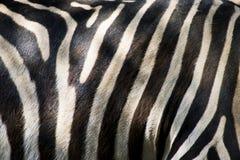 Кожа зебры стоковая фотография