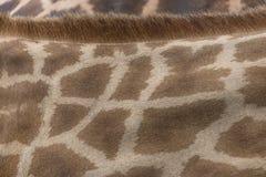 Кожа и шерсть Giraffe Стоковое Фото
