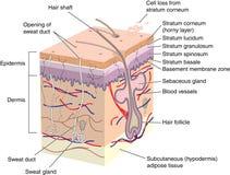 кожа поперечного сечения Стоковое фото RF