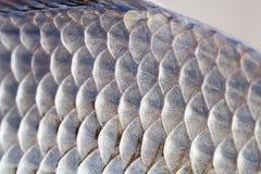 Кожа рыб карася вычисляет по маcштабу фото текстуры Картина карпа Crucian взгляда макроса чешуистая Селективный фокус, поле малой Стоковое Фото