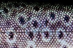 Кожа рыб форели Стоковое Изображение RF