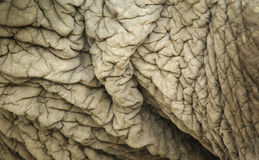 кожа слона s сморщила Стоковое Изображение RF
