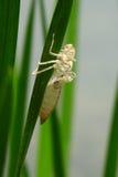 Кожа Dragonfly на лист Стоковые Фото