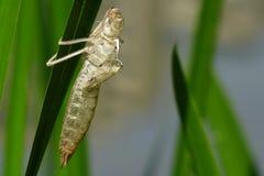 Кожа Dragonfly на лист Стоковая Фотография RF