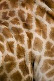 кожа giraffe Стоковая Фотография RF