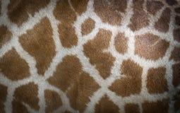 кожа giraffe Стоковое фото RF