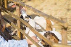 Коза азиатской девушки подавая на ферме стоковые изображения rf