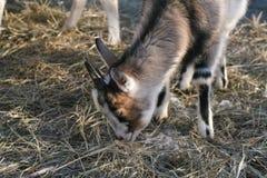 Коза Брайна есть сено Стоковые Фото