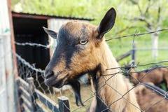Коза Брайна на загородке Стоковое Фото