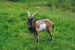 Коза Брайна на лужайке Стоковое Фото