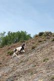 Коза взбираясь в стене горы Стоковое фото RF