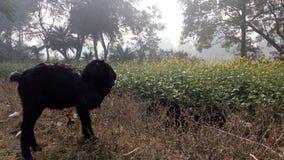Коза - время Стоковое Фото