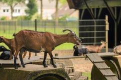Коза вставляет язык вне говоря Maaa Стоковое Изображение RF