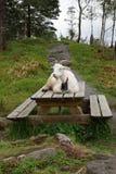Коза в Бергене Стоковая Фотография
