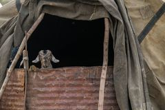 Коза в горах Zagros сарая стоковое изображение rf