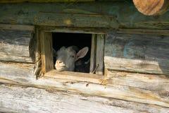 Коза в окне стоковые фотографии rf