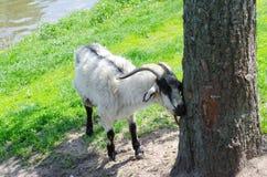 Коза в парке о дереве стоковое фото rf