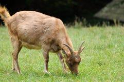 Коза в луге Стоковое фото RF