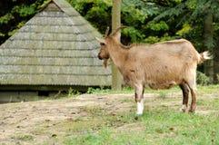 Коза в луге Стоковая Фотография RF