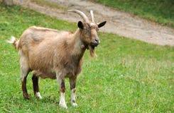Коза в луге Стоковая Фотография