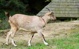 Коза в луге Стоковые Изображения
