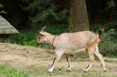 Коза в луге Стоковые Фотографии RF