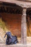 Коза в Bhaktapur Стоковая Фотография