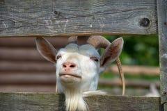 Коза в paddock Стоковые Изображения