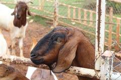 Коза в paddock Стоковое фото RF