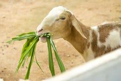 Коза в paddock Стоковое Изображение
