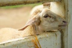 Коза в paddock Стоковые Фотографии RF
